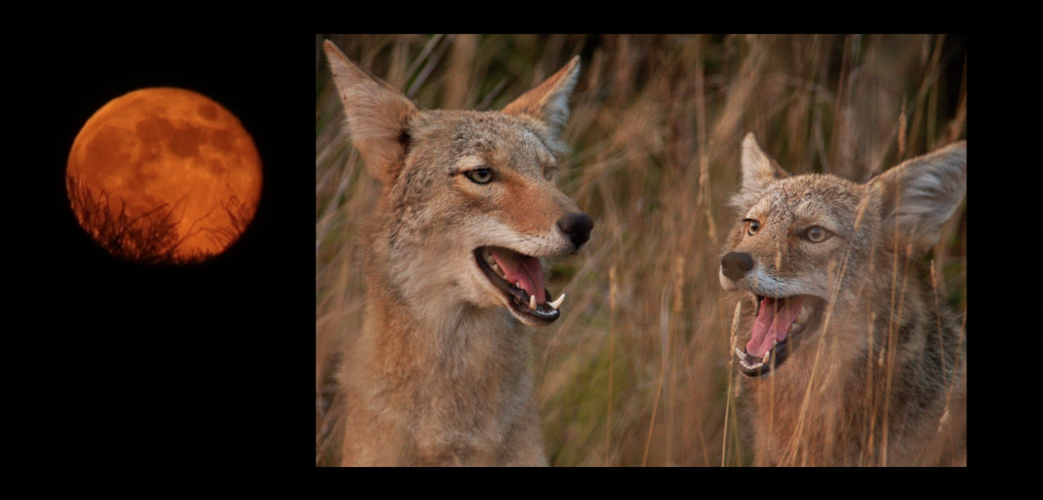 Coyote Yodel